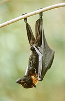 Spectacled flying fox (Pteropus conspicillatus). Queensland. Australia
