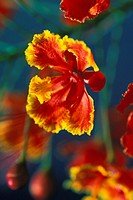Hawaii, Maui, Close-up of royal Poinciana blossom red and orange flower with yellow edges, plant tree
