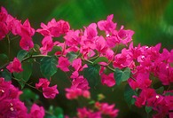 Hawaii, Maui, Wailea, close-up of purple bougainvillea blossoms plant vines bush