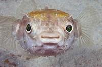 Malaysia, juvenile Spotted porcupine fish (Diodon hystrix)