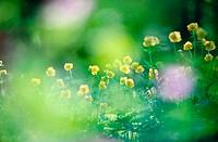 European globeflower (Trollius europaeus). Sweden.