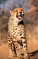 Cheetah (Acinonyx jubatus) in captivity. Game Farm. Namibia