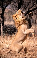 Lion jumping for food (Panthera leo) in captivity. Game Farm. Namibia.