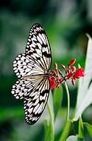 White tree nymph butterfly (Idea Leuconoe).