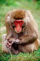 Japanese Macaque (Macaca fuscata)