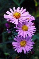 New York aster flowers (Aster novi-belgii). This plant is also known as a Michaelmas daisy.
