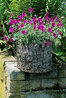 Geranium flowers (Geranium cinereum subcaulescens) in a garden container.