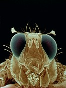 False-colour scanning electron micrograph of a male Mediterranean fruit fly, Ceratitis capitata. Its head is dominated by large compound eyes & the fl...