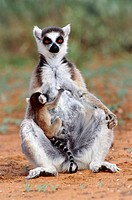 Ring-tailed lemur (Lemur catta) and baby. The ring-tailed lemur is endemic to the island of Madagascar, where it inhabits scrub and forest. Unlike oth...