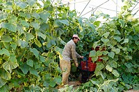Worker collecting cucumbers in a Porreres plantation. Majorca. Balearic Islands. Spain