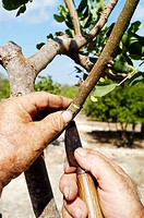 Graft in a carob tree. Majorca. Balearic Islands. Spain