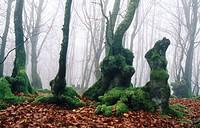 Beechwood in fall. Elosua. Guipúzcoa. Euskadi, Spain