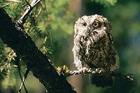 Screech Owl, British Columbia, Canada