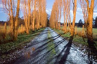 Laneway with poplar trees, under moonlight. North Saanich, British Columbia, Canada