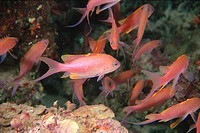 Swallowtail Seaperch (Anthias anthias), Mediterranean Sea