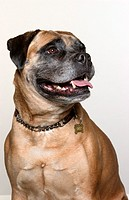 Portrait of Mastiff Dog