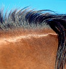 Close up Of Horse Mane