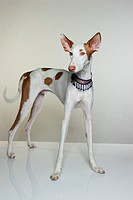 Portrait of Ibizan Hound