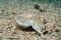 Cuttlefish (Sepia officinalis), mimicry in sand. Galicia, Spain