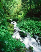 Creek rushing through green foliage. Wahkeena. Columbia river gorge. Oregon. USA