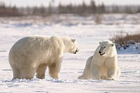 Adult male Polar Bears (Ursus maritimus) in ritualistic fighting stance (injuries are rare!) near Churchill, Manitoba, Canada.