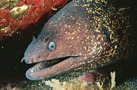 Moray Eel (Muraena helena). Azores islands, Portugal
