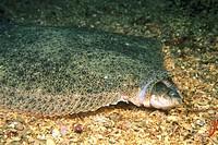 Turbot (Psetta maxima) devouring fish. Galicia, Spain
