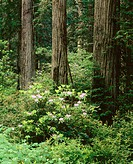 Pacific Rhododendron, Del Norte Coast Redwoods State Park. California. USA