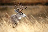 Mule deer buck (Odocoileus hemionus). National Bison Range. Montana. USA
