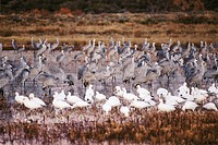 Sandhill Crane (Grus canadensis) and Snow Goose (Chen caerulescens). Bosque del Apache National Wildlife Refuge. New Mexico. USA