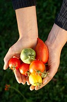 Tomato crop, hands holding differently shaped and colored tomatoes