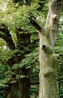 Oak (Quercus robur), 1000 years old trees, Ivenacker eichen. Ivenack. Germany