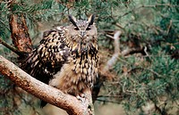 Great eagle owl (Bubo bubo) Male perched in pine. Schwerin. Germany