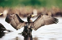 Great cormorant (Phalacrocorax carbo sinensis), adult in shallow water, drying wings. Baltic Sea coast. Germany