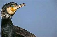 Great cormorant (Phalacrocorax carbo sinensis), adult bird, breeding portrait. Baltic Sea coast. Germany
