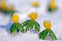 Winter aconite (Eranthis hyemalis) group in fresh snow. Lübeck. Germany