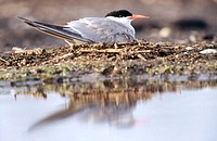 Common tern (Sterna hirundo) breeding. Anklam. Germany.