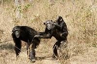 Chimpanzee (Pan troglodytes). Zambia