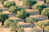 Olive trees. Oropesa. Toledo province, Spain