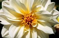 white dahlia Rigoletto flower close up england , uk