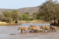 African Elephant (Loxodonta africana). Kenya