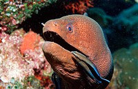 action, clean, Cleaner wrasse cleaning Yellow margined moray, cleaning, diving, Gymnothorax flavimarginatus, Head, h