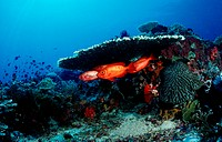 action, coral fish, Crescent tail bigeye under hard coral, diving, fish, holiday, holidays, Indian Ocean, Indonesia,