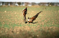 Pheasants (Phasianus colchicus) fighting. UK