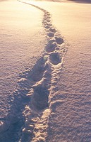 Snowshoe tracks in snow. Covered field in winter