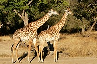 Thornicroft´s Giraffe (Giraffa camelopardalis thornicrofti). South Luangwa National Park, Zambia