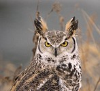 Long eared owl (asio otus) head close up