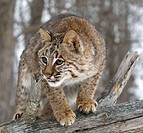 Bobcat (Lynx rufus) close up