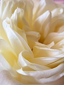 Pale white rose close up