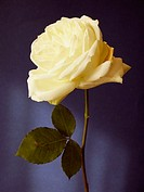 Yellow rose on Blue background with sunlight effect